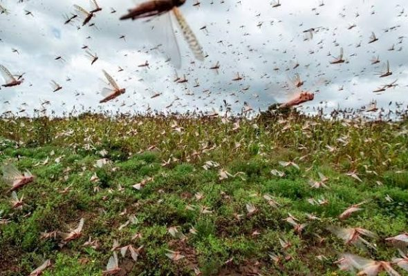 India and Pakistan Battle Locust Attack Amid COVID-19 Pandemic
